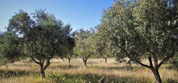 Αυγερινοπούλου: Οδηγίες για τη συγκομιδή της ελιάς | Συγκομιδή ελιάς με βεβαίωση εργασίας, Ε9 και δήλωση ΟΣΔΕ